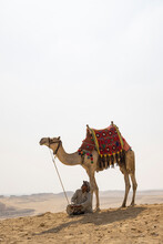 Camel Driver With Camel In Front Of The Pyramids At Giza, Egypt