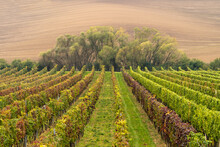 Vineyards In The Fall With Trees