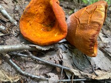 Funnel Shaped Fungus Tan With Orange Inside.