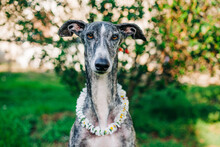 Portrait Of A Greyhound With D...