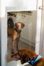 Hungarian Vizsla Dogs Looking ...