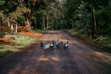 Guinea Fowl Wandering On A Cou...