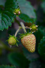 Strawberry Fruit About To Ripen