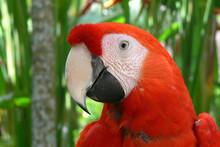 Red Parrot Head - Close Portrait