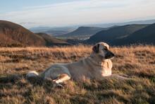 Anatolian Shepherd Keeping Watch On Her Herd In Rolling Mountains