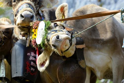 Almabtrieb. Geschmückte Kühe am Ende der Almsaison Fotobehang