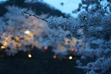 하천에서 보이는 벚꽃