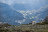 anatolian shepherd in the mountains
