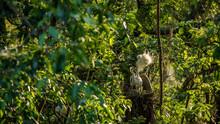 Mother White Egretta Garzetta Feeding Her Nestlings In Nest With Sunset