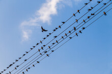 Migratory Birds Hanging Out On Electric Lines