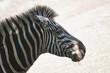 canvas print picture - Zebra Porträt