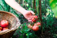 Crop Anonymous Gardener Pickin...