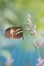 Mariposa Tropical Heliconius Melpomene Posada En Una Espiga De Lavanda. Es Negra Con Franjas Amarillas Y Rojas.