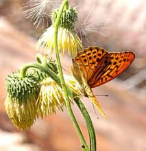 Grande Farfalla Arancione (Argynnis Paphia) Su Fiori Gialli Di Cardo