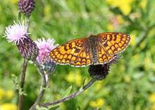 Farfalla Arancione (Melitaea Athalia) Su Un Fiore Di Cardo