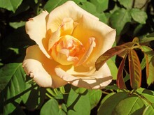 Single Yellow Rose, Close-up: Sunlit Yellow Rose And Rose Leaves