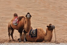 Pair Of Bactrian Camels For To...