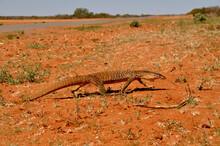 Large Sand Monitor Lizard In O...