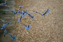 Bright Blue Salvia Flowers Growing Over A Gravel Path.