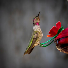 Hummingbird Perched With Color...