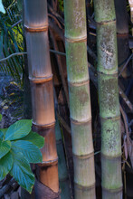 Trio Of Bamboo Stalks In A Tropical Gardens