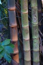 Trio Of Bamboo Stalks In A Tro...