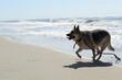 german shepherd dog on beach
