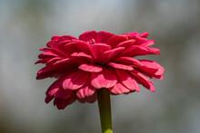 One Isolated Beautiful Pink Zi...