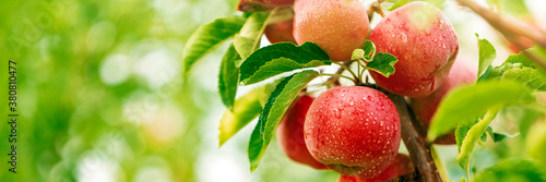 Red apples on apple fruit tree branches