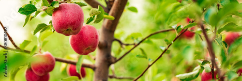 Fototapeta Red apples on apple fruit tree branches