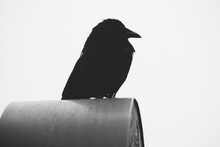 Close Up Of Crow Sitting On Mailbox