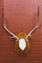 Deer Skull Trophy