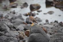 Common Mynah Bird