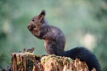 Red Squirrel (lat. Sciurus Vulgaris)