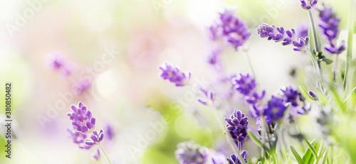 Fototapeta Blooming Lavender on sunny background obraz