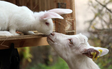 Rabbit And Goat Touching Noses