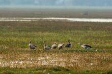 Greylag Goose Flock Playing In...