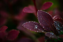 Flowering Branch Of Barberry W...