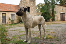 Beautiful Anatolian Shepherd Dog. This Is A Sheep Dog And A Large Breed Dog.