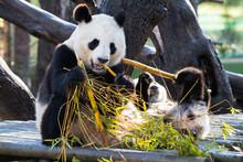 Beautiful Shot Of A Panda Eati...