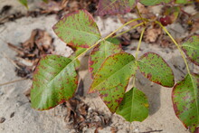 Sept 25, 2020 Poison Ivy Changing Colour During September At Fort Tilden Beach, Queens, New York City, USA.