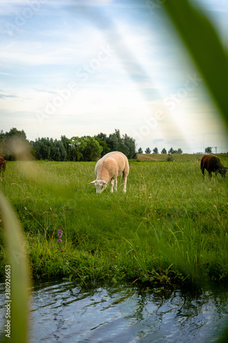 sheep grazing in a field Canvas Print