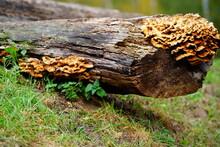 Mushroom On A Tree