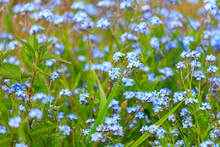 A Meadow Full With Forget-me-n...