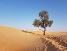 Lonely Green Tree In The Orange Desert