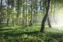 Green Birch Forest On A Clear ...