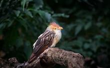 Very Nice Cuckoo Guira Sitting...