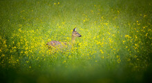 A Beautiful Deer Observes The Surroundings In The Yellow Grass