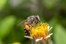Macro Of Giant Honey Bee ( Api...