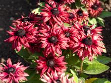 Dark Red Flowers Of Rudbeckia Hirta Coneflowers, Variety Cherry Brandy, In A Garden